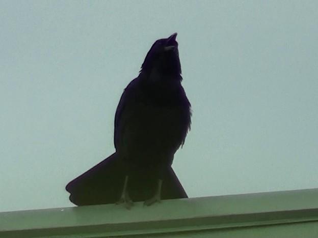 写真: 早朝の叫び声