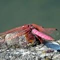 写真: 赤色のトンボ