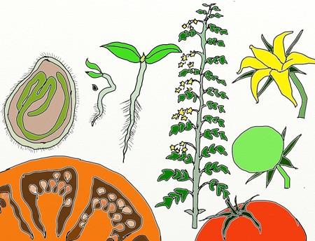 トマト種から種
