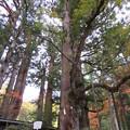 Photos: 日光二荒山神社(栃木県)縁結びの御神木