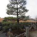 写真: 将軍塚(青龍殿。山科区厨子奥花鳥町)東郷元帥手植松