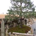 写真: 将軍塚(青龍殿。山科区厨子奥花鳥町)黒木大将手植松