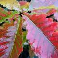 我が家のドングリ紅葉~