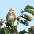 写真: コムクドリの幼鳥