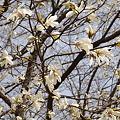公園に咲くコブシ