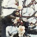 Photos: 梅が咲いてます