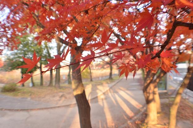 Photos: 公園のもみじ