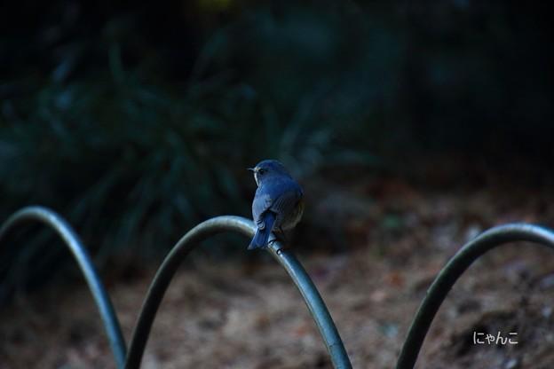 写真: ~幸せの青い鳥~