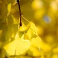 Photos: 眩しい黄色