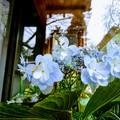 写真: 冬紫陽花 日本寺(にちほんじ)