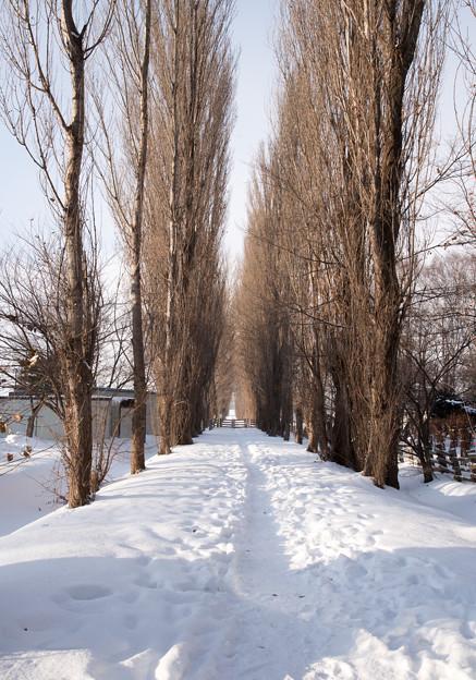 北大 ポプラ並木