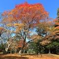 Photos: 公園のモミジ