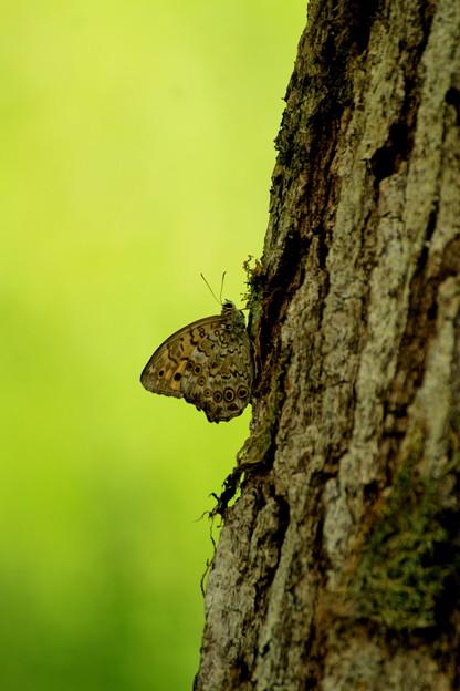 Photos: ヒカゲの蝶