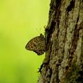 写真: ヒカゲの蝶