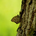 ヒカゲの蝶