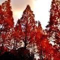 写真: メタセコイア並木の夕暮れ6