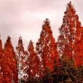 写真: メタセコイア並木の夕暮れ5