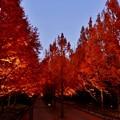 写真: メタセコイア並木のライトアップ 1