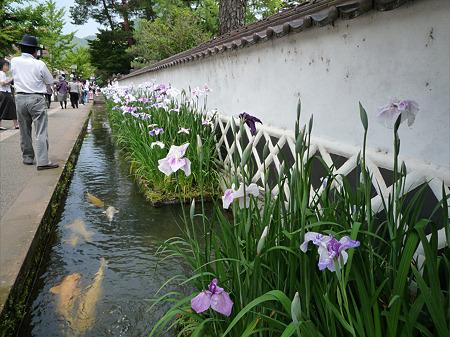 津和野~鯉と花菖蒲(3)