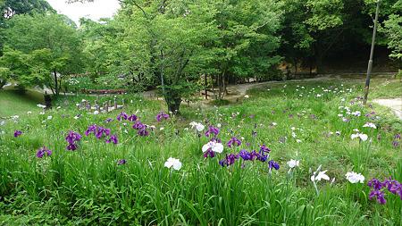 天拝山歴史自然公園の花菖蒲(4)