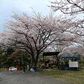 志高湖の桜(4)