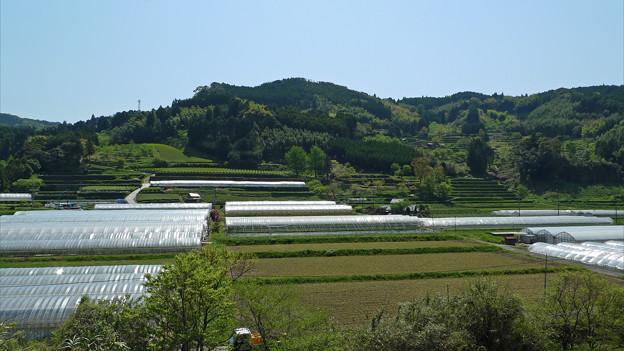 黒木町の茶畑(1)