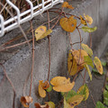 写真: 道の脇で静かに枝垂れる