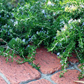 レンガ敷きに寄り添う緑