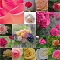今年の薔薇ありがとう