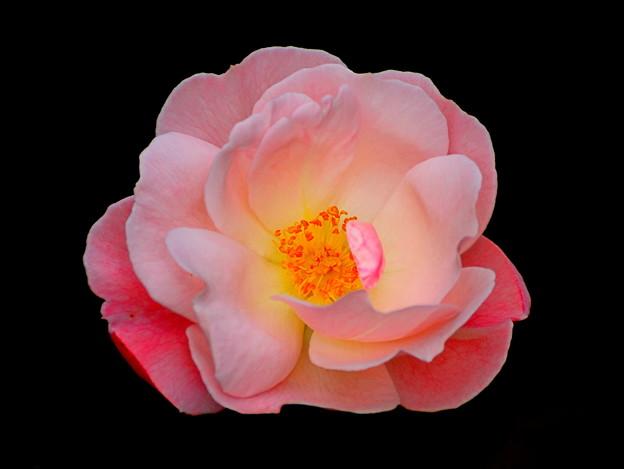 c~Autumn Rose~