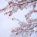写真: エゾノコリンゴ