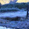 霜と立ち枯れの木
