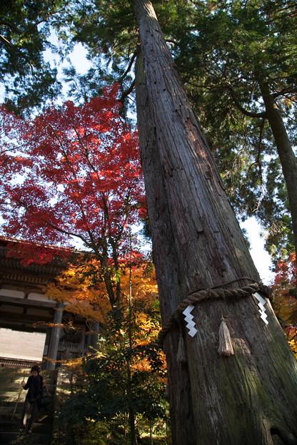 樹齢1000年の夫婦杉 西明寺