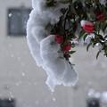 今朝の雪とサザンカ