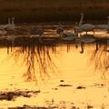 写真: 夕日とコハクチョウ(1)