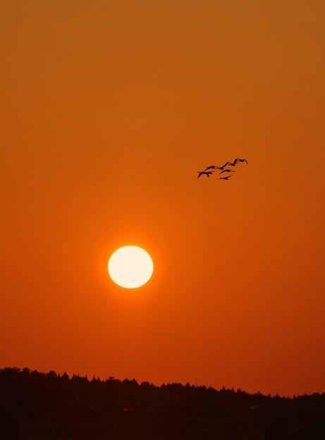 夕日とコハクチョウ (3)