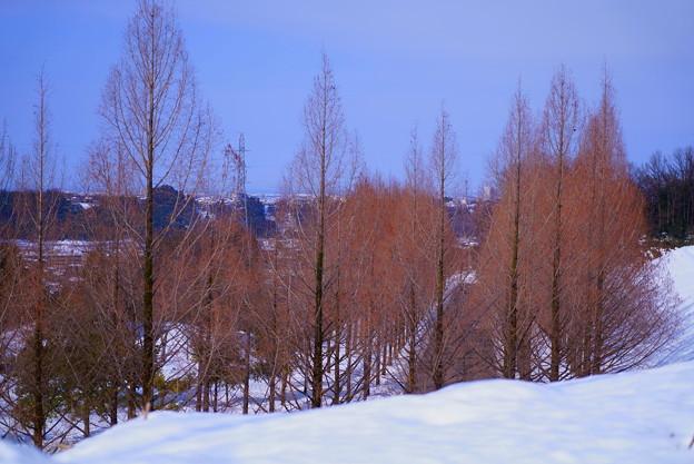 雪のメタセコイアの並木道 (1)  青空と街並み
