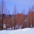 写真: 雪のメタセコイアの並木道 (1)  青空と街並み