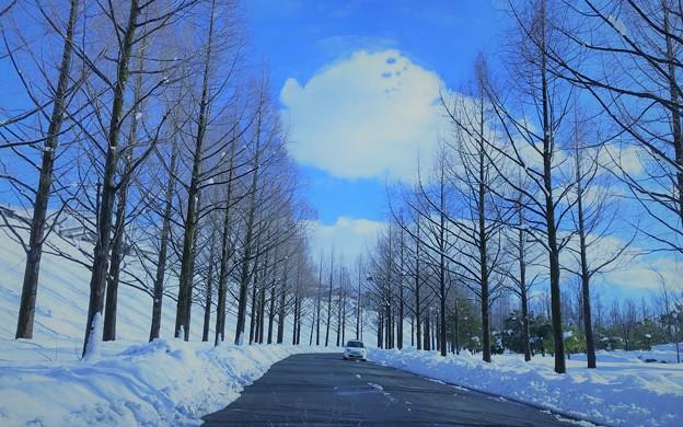 写真: 雪のメタセコイアの並木道(2)