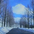 雪のメタセコイアの並木道(2)