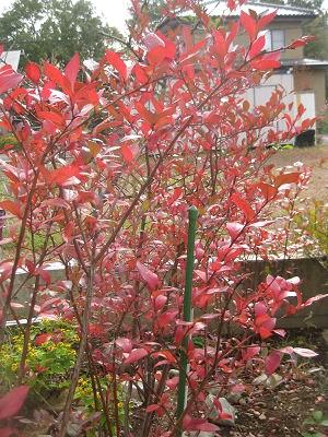 ブルーベリー の紅葉
