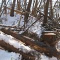 Photos: 10.26 木が沢山切られていた