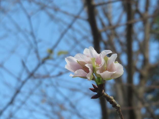 Photos: 咲いちゃった?