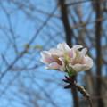 写真: 咲いちゃった?