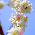 白桃が 春の日差しに 紅を引き