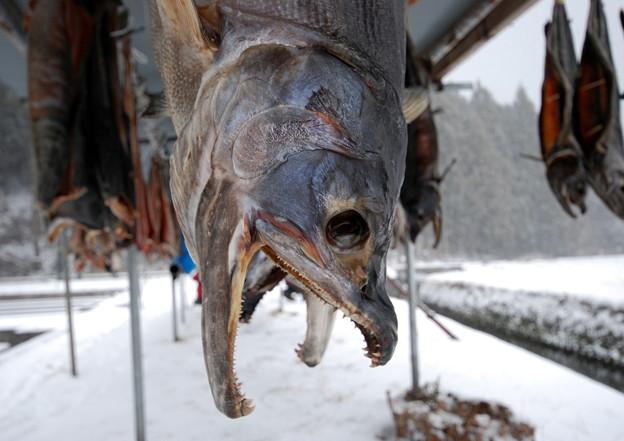 鮭の寒風干し2
