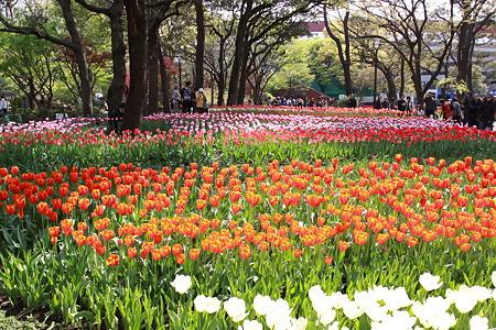 横浜公園のチューリップ(1)