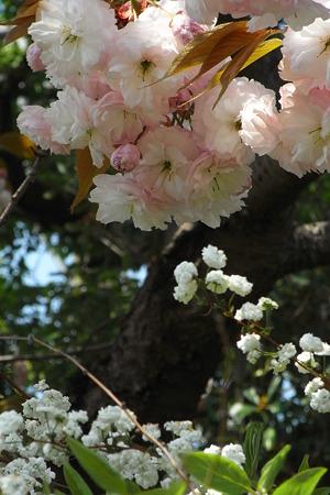 八重の桜 八重の雪柳