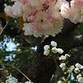 Photos: 八重の桜 八重の雪柳