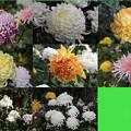 私の菊栽培が開花